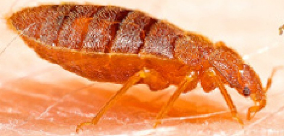 Bedbugs: The Life of a Mini-Monster